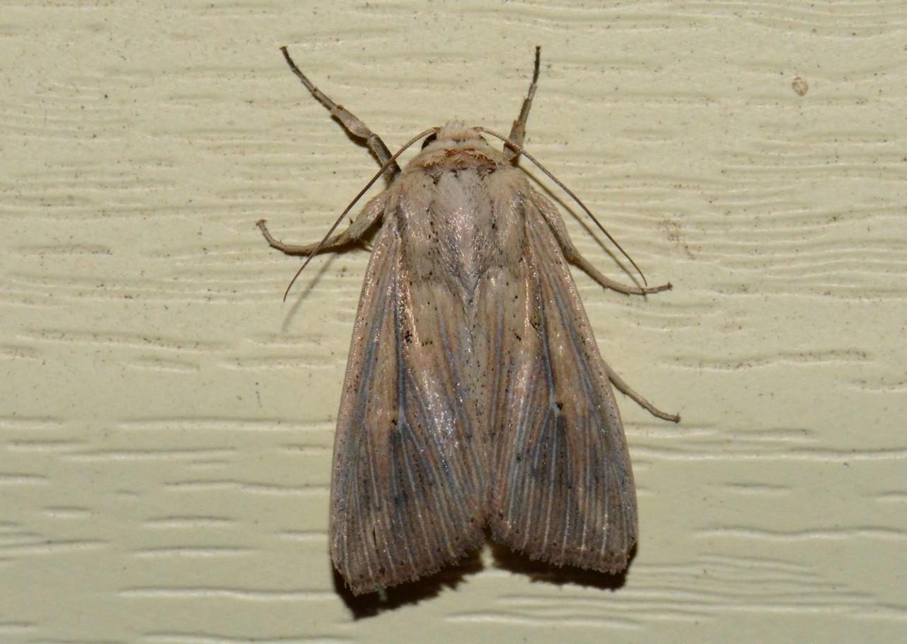 Linda Wainscot Moth -- Leucania linda, Hodges# 10445, MPG 932944
