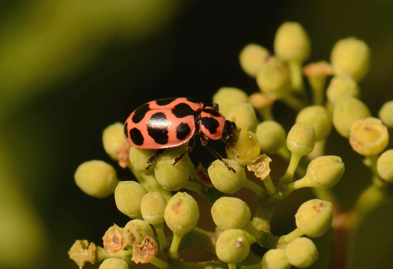 "Spotted Lady Beetle -- Coleomegilla maculata, feeds at a grape flower bud.<br /> <br /> ""Mercutio: Nay, I am the very pinck of curtesie."" ~ Shakespeare , ""Romeo & Juliet"" [II, 4]."