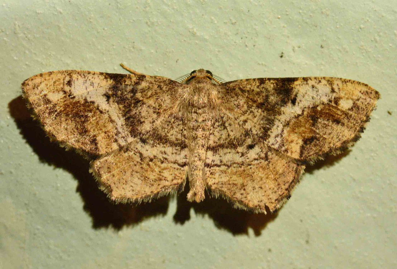 """One-spotted Variant -- Hypagyrtis unipunctata, Hodges# 6654 MPG 196550<br /> <br /> """"What has come over our age is an alienation from Nature unexampled in human history. It has cost us our sense of reality and all but cost us our humanity... True humanity is no inherent and abstract right, but an achievement, and only through the fullness of human experience may we be as one with all who have been and all who are yet to be, sharers and brethren and partakers of the mystery of living, reaching to the full of human peace and the full of human joy."""" ~ Henry Beston, """"Northern Farm"""""""