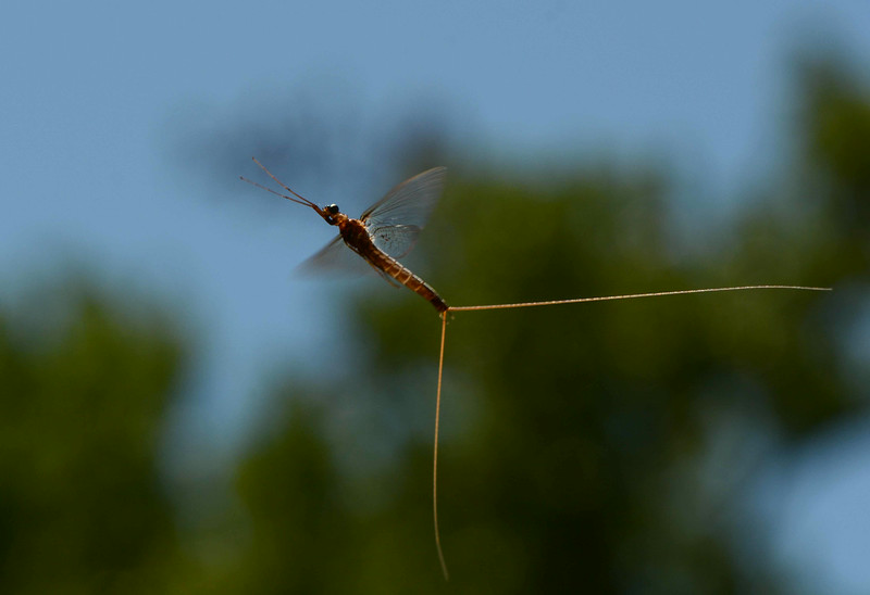 male mayfly in flight <br /> <br /> 'Up high, the flies are playing,<br /> And frolicking, and swaying.<br /> The frog thinks: Dance! I know<br /> You'll end up here below.'~ Wilhelm Busch
