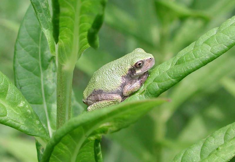Cope's Grey Treefrog -- Hyla chrysoscelis