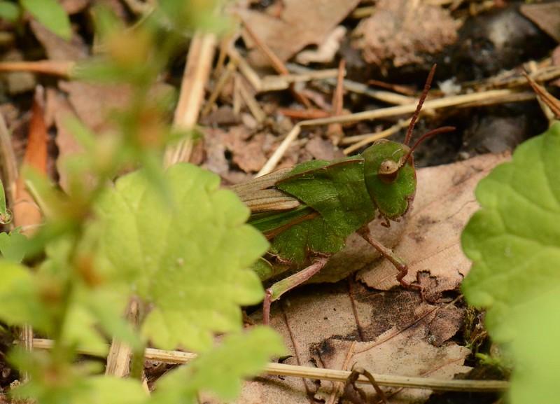 Short-horned Grasshopper, Family Acrididae