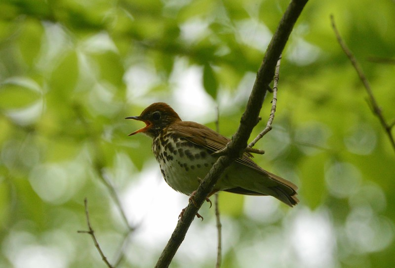 Wood Thrush -- Hylocichla mustelina, sings of peace into shaded eastern woodlands