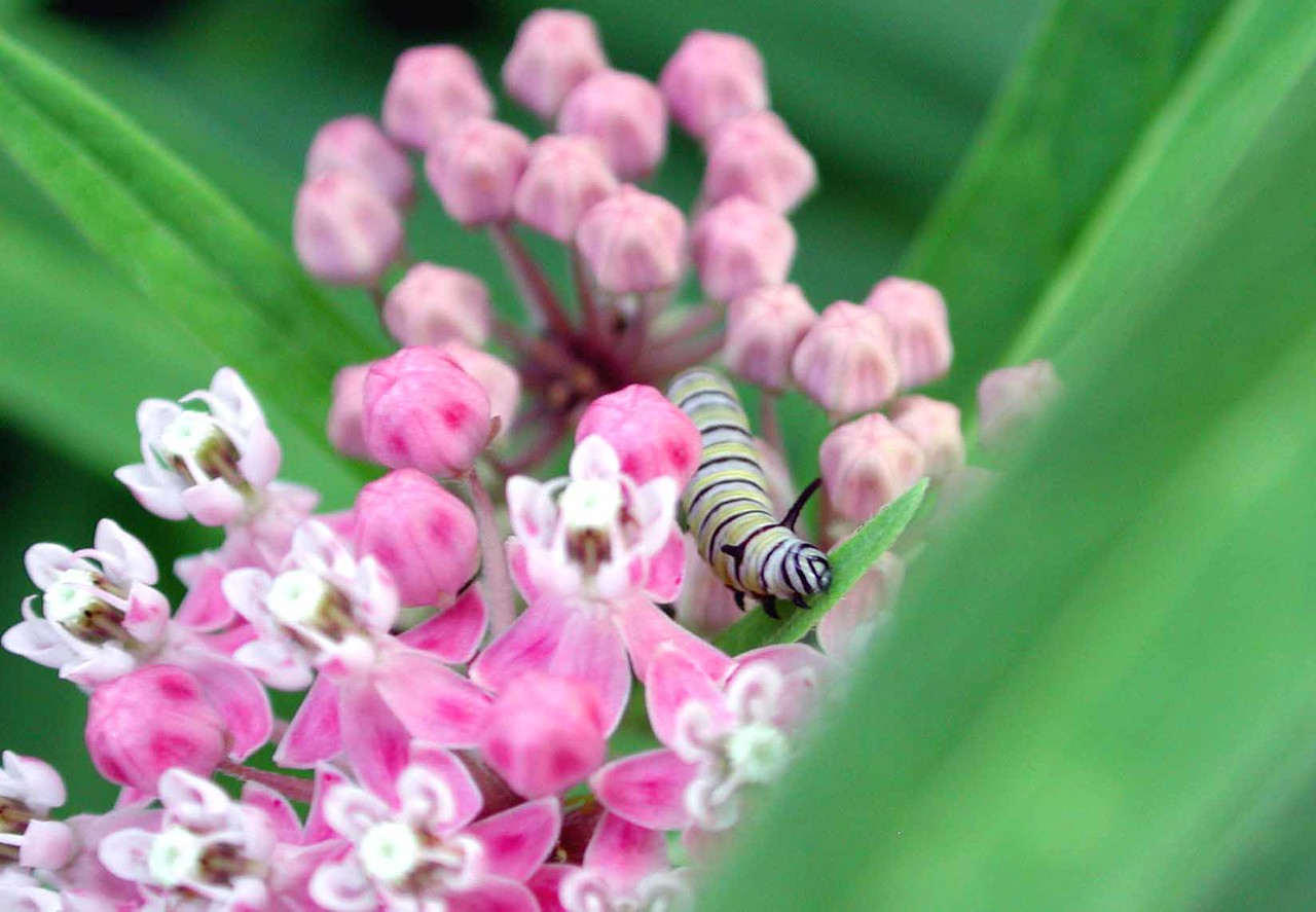 """Monarch larva<br /> <br /> """"We kill all the caterpillars and complain that there are no butterflies."""" ~ John Marsden, The Dead Of Night"""