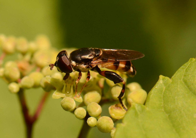 "Syrphid Fly -- Tropidia quadrata, feeding at grape flowers<br /> <br /> ""If God wanted us to fly, He would have given us tickets."" ~ Mel Brooks"