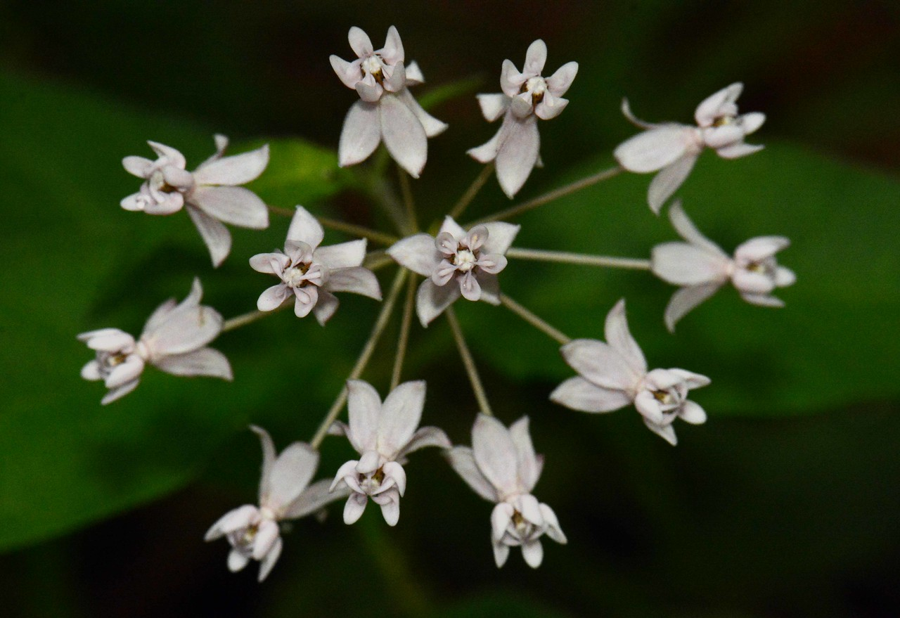 """White Milkweed -- Asclepias variegata, starting to bloom in early May<br /> <br /> """"Some people age like fine wine. Others age like milk."""" ~ Hari Wallace"""