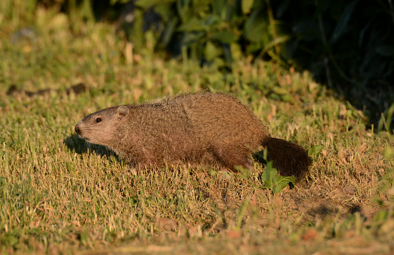 "Woodchuck -- Marmota monax. Name origins pass from the Cree, who called this and other similar mammals 'wuchak'.<br /> <br /> ""The first subject matter for painting was animal. Probably the first paint was blood. Prior to that, it is not unreasonable to suppose that the first metaphor was animal."" ~ John Berger"