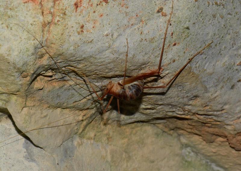 Cave Cricket, Family Gryllacridadae, Subfamily Rhaphidophorinae