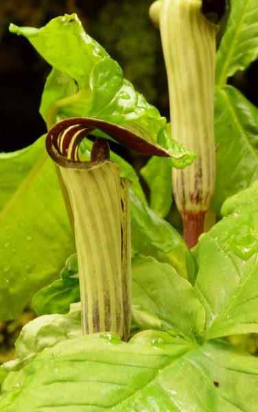 Jack-in-the-pulpit -- Arisaema triphyllum