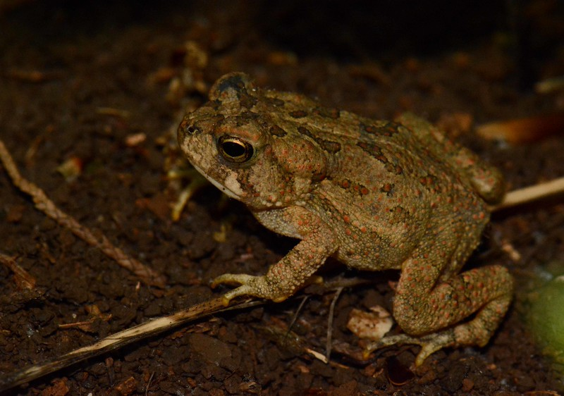 Fowler's Toad -- Bufo woodhousii fowleri<br /> <br /> Notatio naturae, et animadversio perperit artem – Art is born of the observation and investigation of nature. ~ Marcus Tullius Cicero