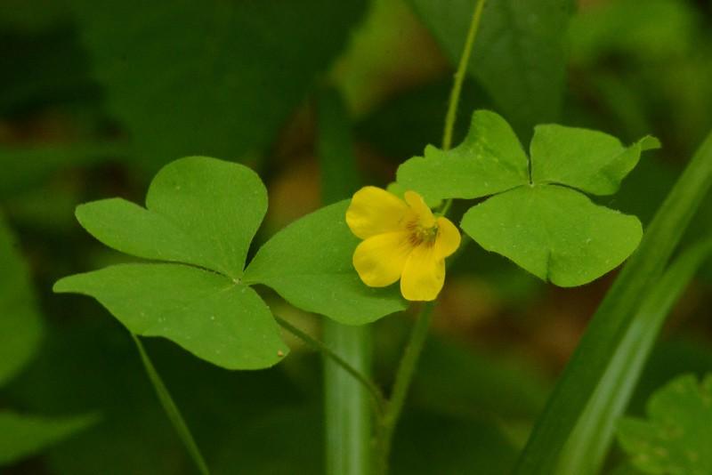 Yellow Wood-sorrel -- Oxalis stricta