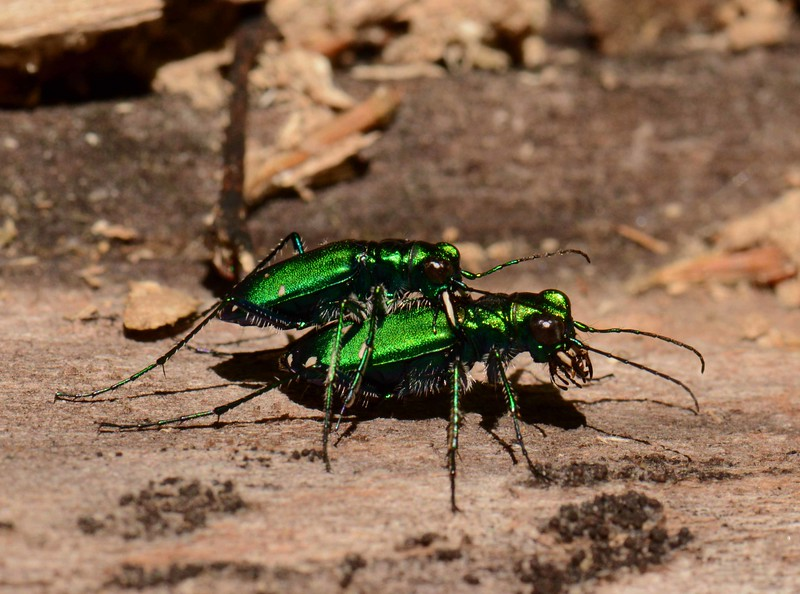 Six-spotted Tiger Beetles -- Cicindela sexguttata<br /> <br /> 'Mind does its fine-tuning hair-splitting, <br /> but no craft or art begins<br /> or can continue without a master<br /> giving wisdom into it.' ~ Rumi, 13th C