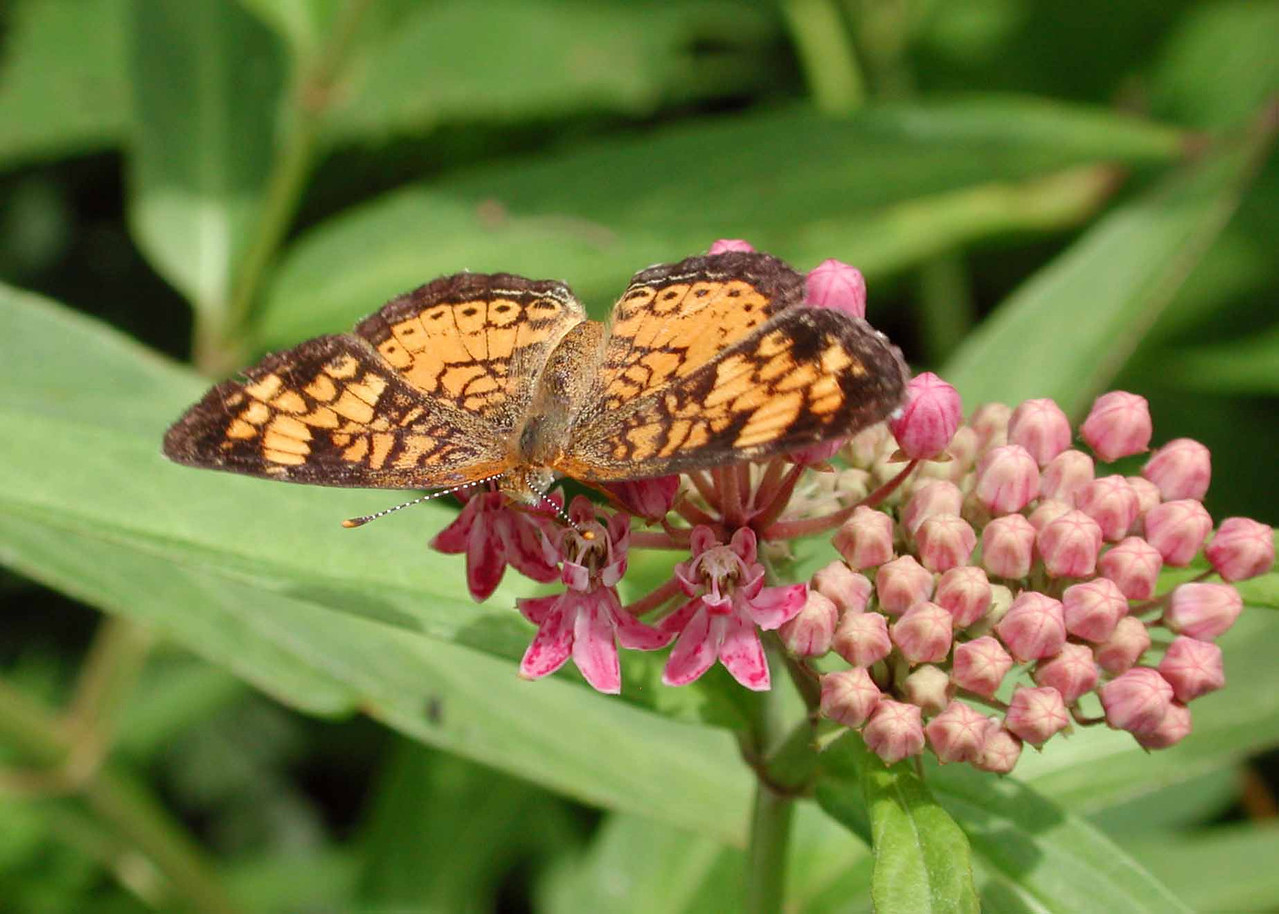 """Pearl Crescent -- Phyciodes tharos<br /> <br /> """"Man can now fly in the air like a bird, swim under the ocean like a fish, he can burrow into the ground like a mole. Now if only he could walk the earth like a man, this would be paradise."""" ~ Tommy Douglas"""