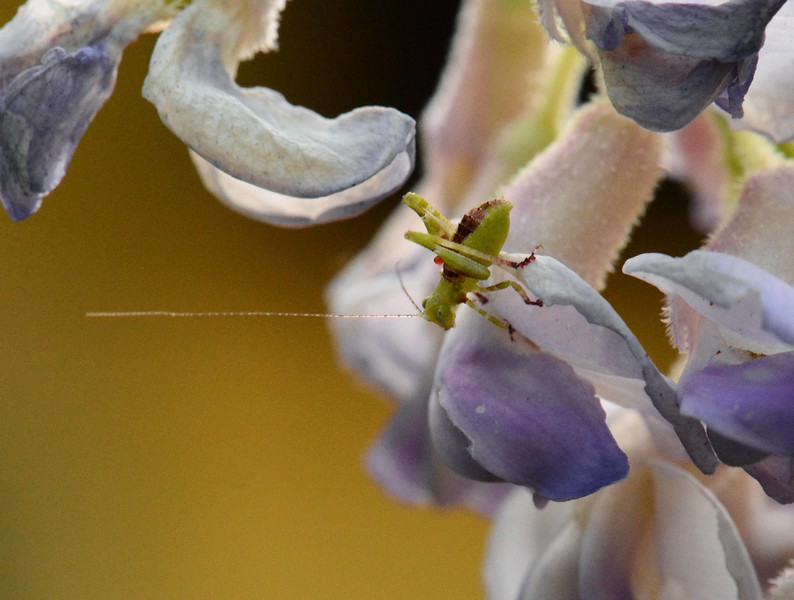 """Wisteria, Legume Family (Fabaceae)<br /> <br /> 'Love the rose, but leave it on its stem.' ~ from """"The Wanderer"""" by Edward Robert Bulwer Lytton"""