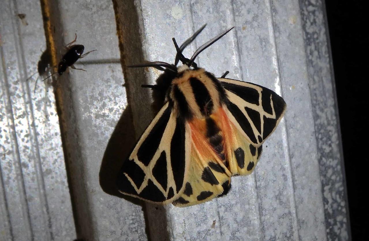 Harnessed Tiger Moth -- Apantesis phalerata, Hodges# 8169 MPG 930278
