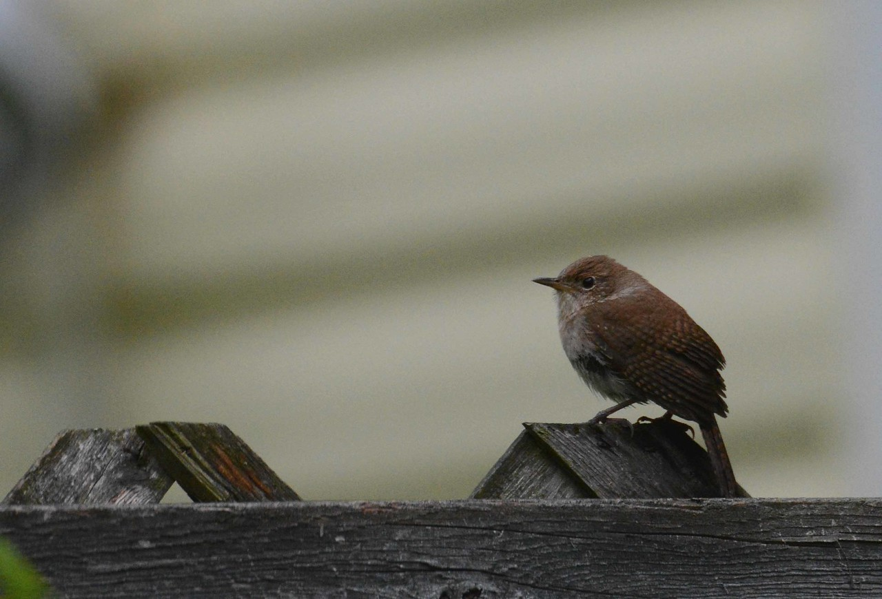 """House Wren -- Troglodytes aedon, at home <br /> <br /> '...Its songs and loves throb <br /> in my head til like the wren<br /> I sing - to what listens - again.' ~ Wendell Berry, """"To What Listens"""""""
