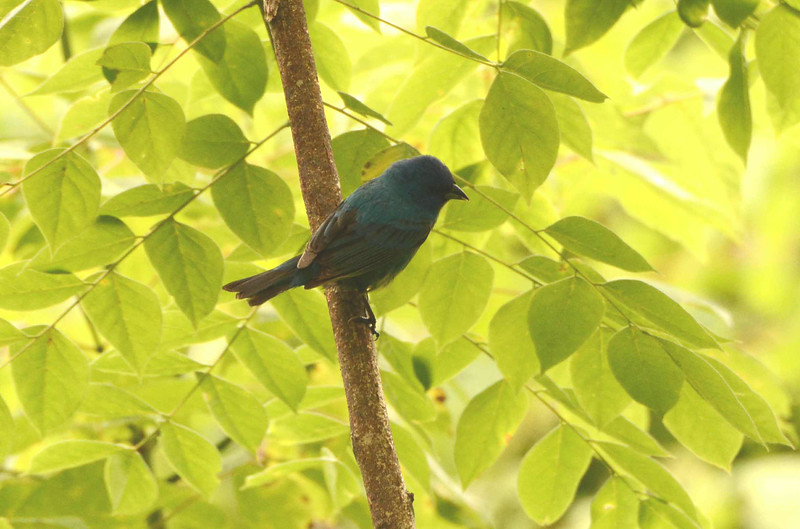 "Indigo Bunting (m) -- Passerina cyanea, fairly common in brushy, rural areas here, remind me of the history of indigo during the American Revolution on Independence Day.<br /> <br /> 'Doubtless, I should have then made common cause<br /> With some who perished; haply perished too<br /> A poor mistaken and bewildered offering<br /> Unknown to those bare souls of miller blue' ~ William Wordsworth, ""The Prelude"""