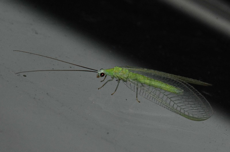 "Green Lacewing (adult), Family Chrysopidae is part of the small Order Neuroptera -- ""nerve-winged"" insects. Their wings are sensitive to bat echolocation signals.  Lacewings also eat a lot of aphids. <br /> <br /> ""Wolves don't lose sleep over the opinions of sheep."" ~ unknown"