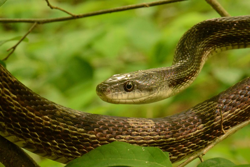 """i think this is a Black Rat Snake -- Elaphe obsoleta obsoleta but it could be an intergrade x Elaphe obsoleta quadrivatta. <br /> <br /> """"Beneficience is a duty."""" ~ Immanuel Kant, Metaphysical Elements of Ethics, 1780."""
