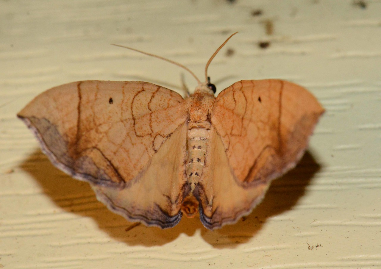 Greater Grapevine Looper -- Eulithis gracilineata Hodges# 7197, MPG 211025