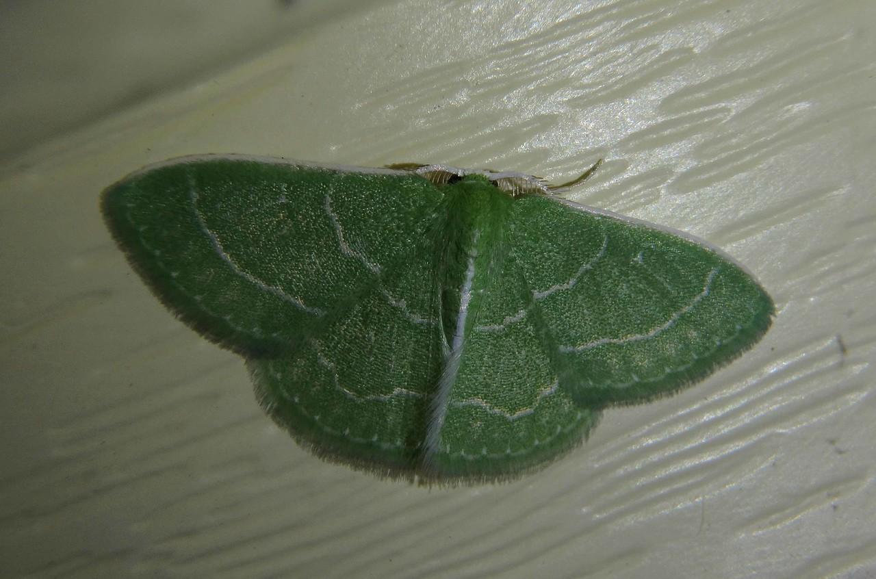 Wavy-lined Emerald -- Synchlora aerata, Hodges# 7058 MPG 207400