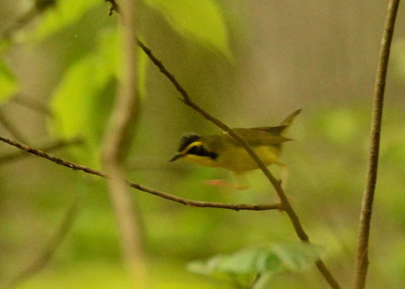 a bit of a blur, but Kentucky Warbler (m) -- Geothlypis formosa, zipping through the understory.