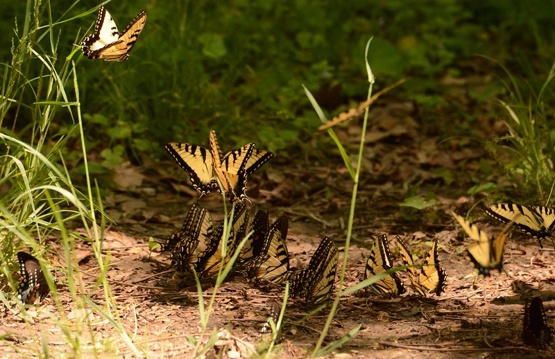 Spicebush Swallowtails -- Papilio troilus, and Eastern Tiger Swallowtails -- Papilio glaucus, find some essential nutrients in the woods.