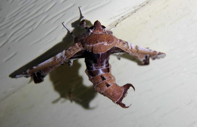 Beautiful Eutelia -- Eutelia pulcherrimus, Hodges# 8968 MPG 931118