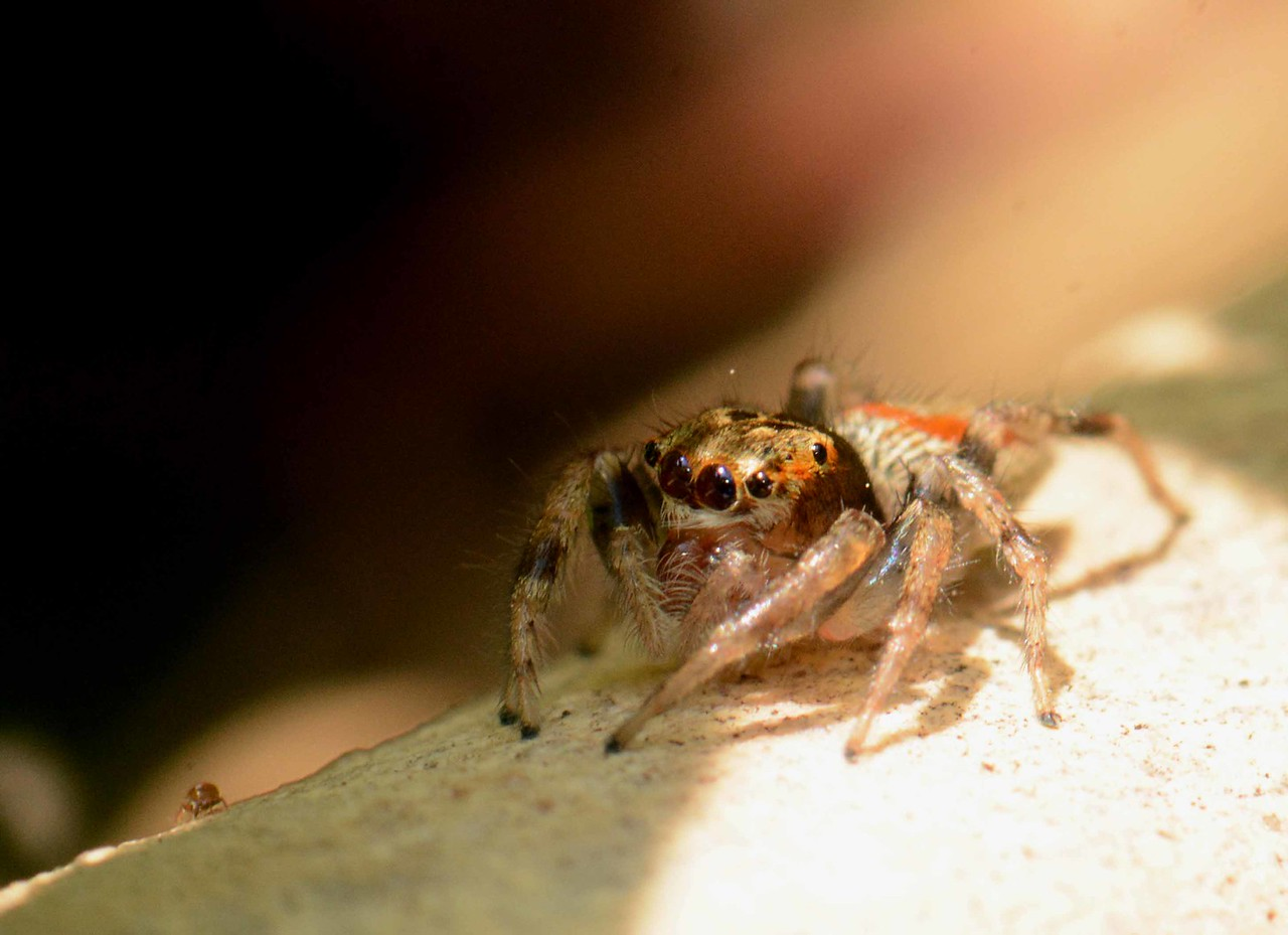 """Dimorphic Jumping Spider (f) -- Maevia inclemens<br /> <br /> """"It is sometimes difficult for us to understand the senses possessed by other animals, our own are so dulled."""" ~ Kelvin Boot, """"The Nocturnal Naturalist"""""""