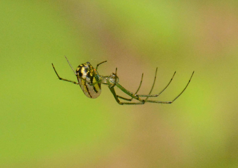 "Venusta Orchard Spider -- Leucauge venusta<br /> <br /> ""… as Alice remarked with such pragmatic wisdom – ""It's useful to the people that name them."" The realization that the world by itself contains no signs – that there is no connection whatever between things and their names except by way of a mind that finds these tags useful -- is by no means a trivial philosophical insight."" ~ Martin Gardner, ""The Annotated Alice"""