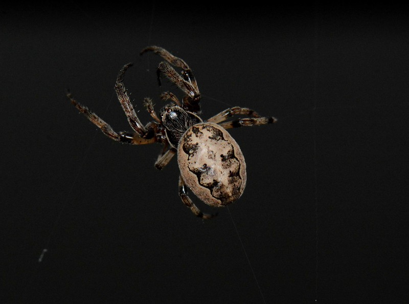 "Furrow Orbweaver -- Larinioides cornutus<br /> <br /> ""Spiders are creatures of special power for the Kickapoo.  Earth, sun, and moon are held together in the web of a great spider."" ~ John Knoepfle, ""poems from the sangamon"", notes."