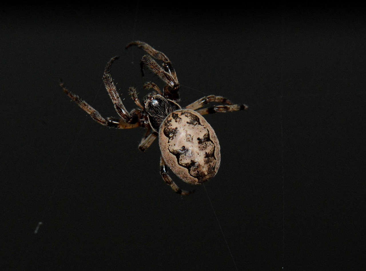 """Furrow Orbweaver -- Larinioides cornutus<br /> <br /> """"Spiders are creatures of special power for the Kickapoo.  Earth, sun, and moon are held together in the web of a great spider."""" ~ John Knoepfle, """"poems from the sangamon"""", notes."""