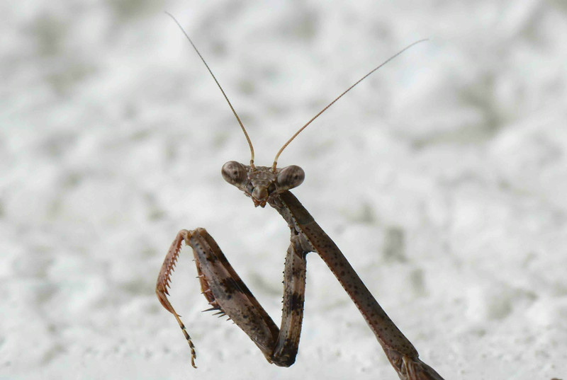 "Carolina Mantis -- Stagmomantis carolina. Some predators may cloak themselves with piety.<br /> <br /> ""As the French say, there are three sexes, -- men, women, and clergymen."" ~ Sydney Smith, ""Lady Holland's Memoir"""