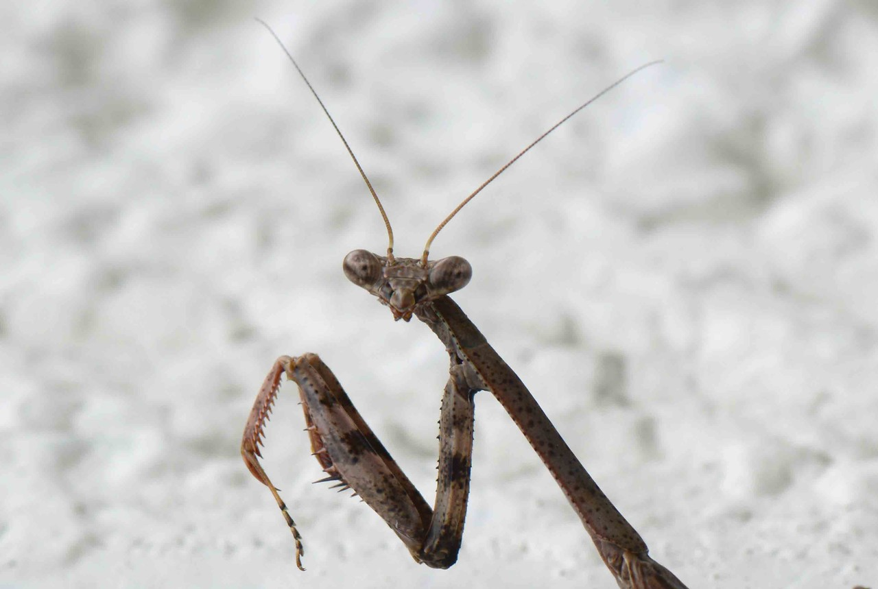 """Carolina Mantis -- Stagmomantis carolina. Some predators may cloak themselves with piety.<br /> <br /> """"As the French say, there are three sexes, -- men, women, and clergymen."""" ~ Sydney Smith, """"Lady Holland's Memoir"""""""