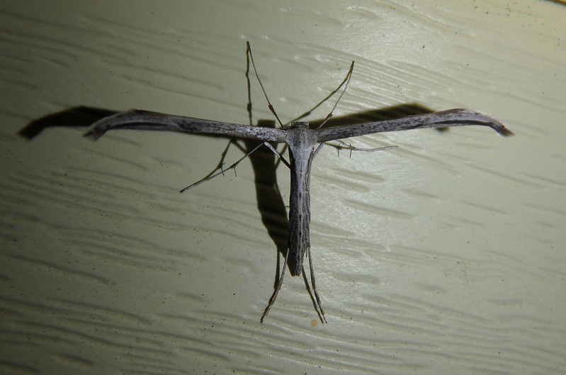 Morning-glory Plume Moth -- Emmelina monodactyla, Hodges# 6234 MPG 185825