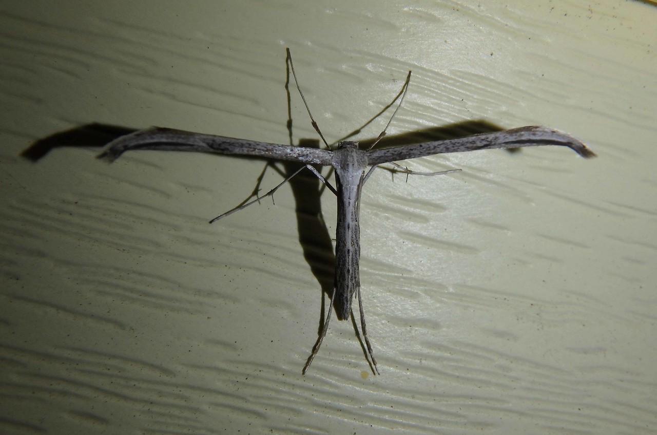 Morning-glory Plume Moth -- Emmelina monodactyla, Hodges# 6234 MPG 185825