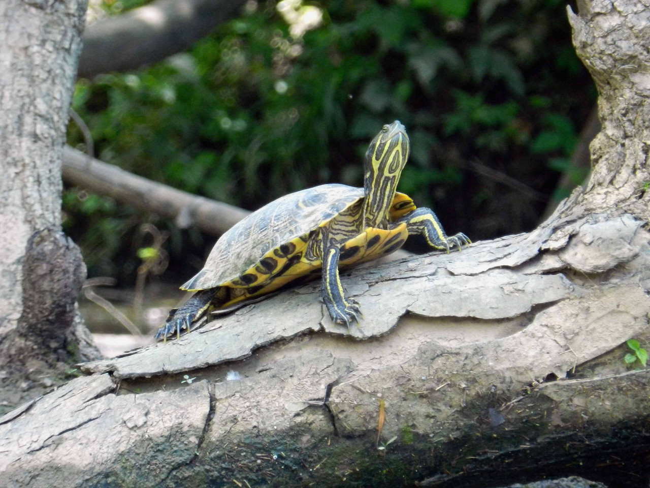 """Red-eared Slider -- Trachemys scripta elegans<br /> <br /> """"Behold the turtle.  He makes progress only when he sticks his neck out."""" ~ James Bryant Conant"""