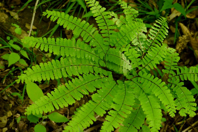 Maidenhair Fern -- Adiantum spp.