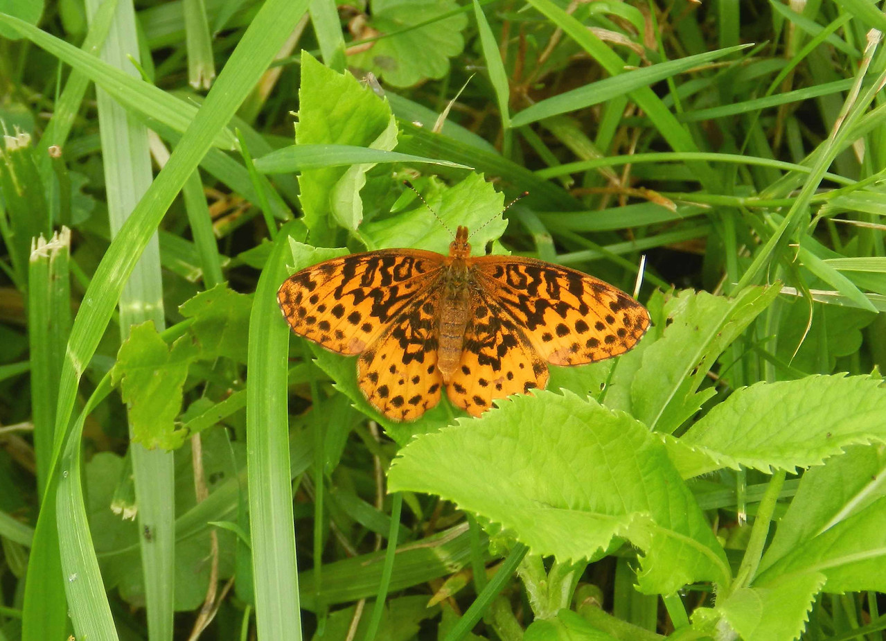 Meadow Fritillary -- Boloria bellona<br /> <br /> 'Let no one say, and say it to your shame -- that all was beauty here until you came' ~ origins unknown