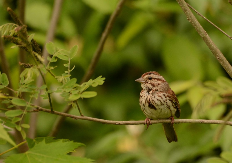 "Song Sparrow -- Melospiza melodia<br /> <br /> 'The day hanging by its feet with a hole<br /> In its voice<br /> And the light running into the sand<br /> <br /> Here I am once again with my dry mouth<br /> At the fountain of thistles<br /> Preparing to sing.' ~ ""Invocation"" by W. S. Merwin"