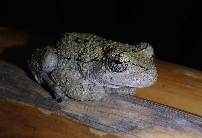 Grey Treefrog -- Hyla spp.
