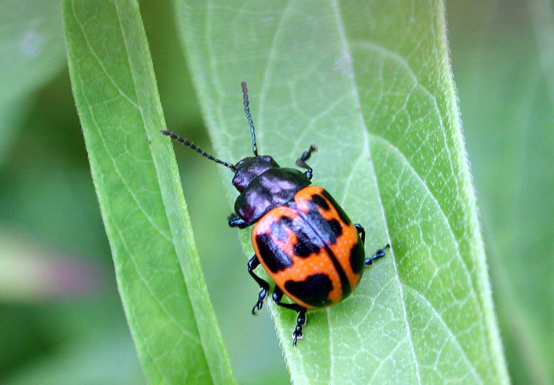 "Swamp Milkweed Leaf Beetle -- Labidomera clivicollis<br /> <br /> ""What<br /> if you were<br /> a beetle,<br /> and a soft wind<br /> and a certain allowance of time<br /> had summoned you<br /> out of your wrappings, ..."" ~ Mary Oliver, ""How Everything Adores Being Alive"""
