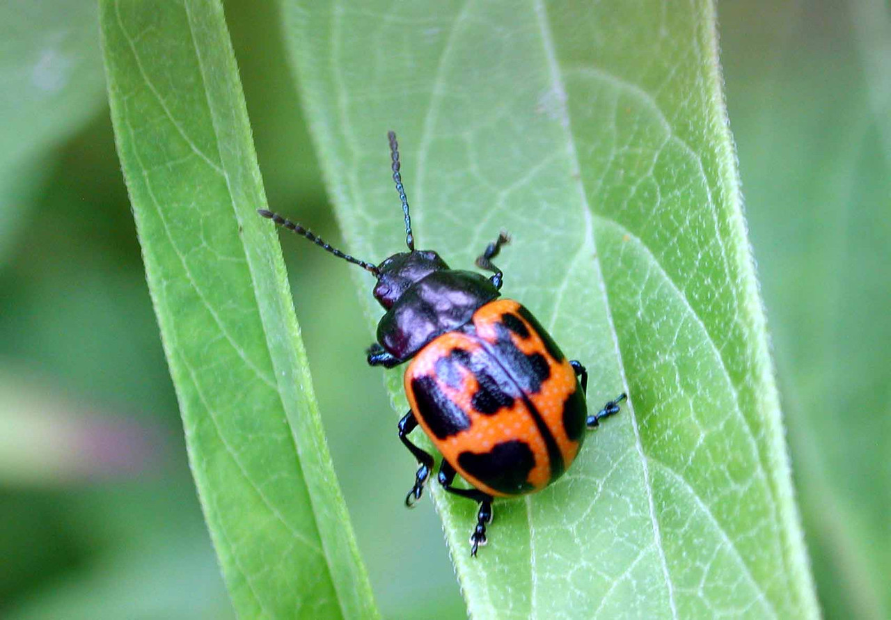 """Swamp Milkweed Leaf Beetle -- Labidomera clivicollis<br /> <br /> """"What<br /> if you were<br /> a beetle,<br /> and a soft wind<br /> and a certain allowance of time<br /> had summoned you<br /> out of your wrappings, ..."""" ~ Mary Oliver, """"How Everything Adores Being Alive"""""""