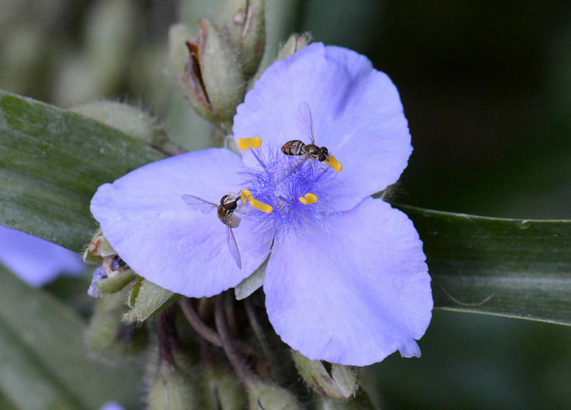 "Hoverflies on the Spiderwort<br /> <br /> ""This planet is not terra firma. It is a delicate flower and it must be cared for. It's lonely. It's small. It's isolated, and there is no resupply. And we are mistreating it."" ~ Scott Carpenter, Project Mercury Astronaut."