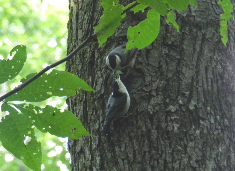 "White-breasted Nuthatches -- Sitta carolinensis, may mate for life. Love is sharing ... looks like a katydid here.<br /> <br /> 'Songbirds are sweetest, in Kentucky,<br /> Thoroughbreds the fleetest, in Kentucky;<br /> The mountains tower proudest,<br /> Thunder peals the loudest,<br /> The landscape is the grandest,<br /> And politics the damnedest,<br /> In Kentucky.' ~ from ""In Kentucky"" by James Hilary Mulligan"