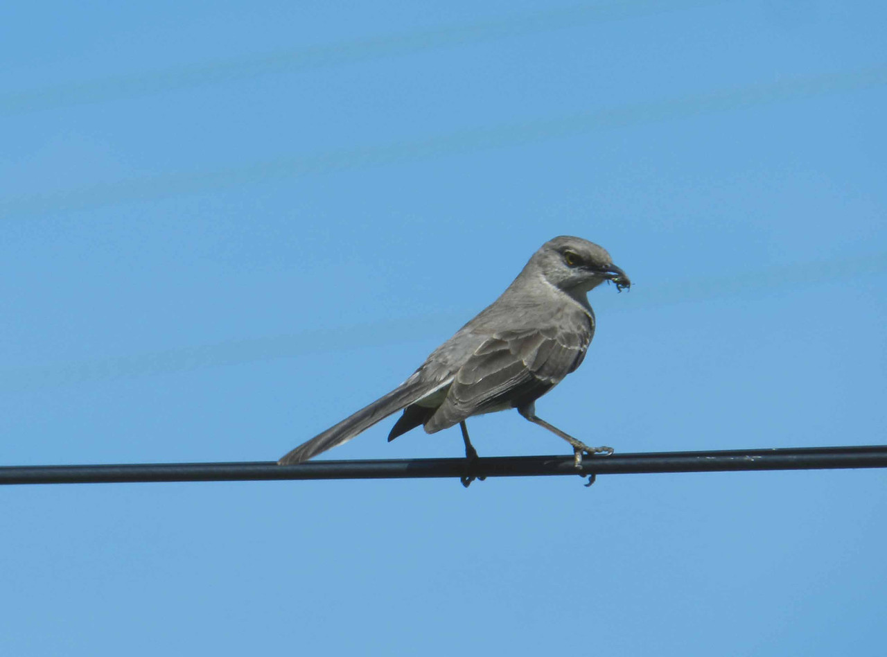 """Northern Mockingbird -- Mimus polyglottos, with Halictid Bee<br /> <br /> '...Teach us, sprite or bird,<br /> What sweet thoughts are thine:<br /> I have never heard<br /> Praise of love or wine<br /> That parted forth a flood of rapture so divine...' ~ from """"To a Skylark"""" by Percy Bysshe Shelley"""