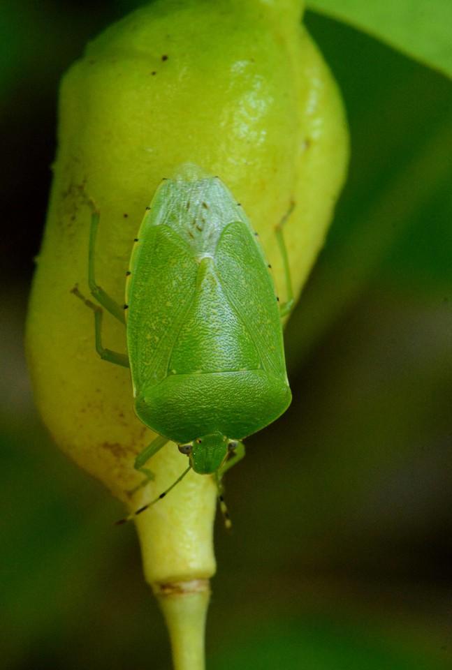 Green Stink Bug, i think Chinavia hilaris.