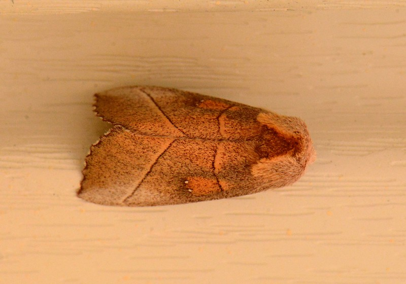 """White-dotted Prominent -- Nadata gibbosa, Hodges# 7915 MPG 930046<br /> <br /> """"To know the mountain it is necessary to know what is on the mountain's back.' ~ John Marin"""