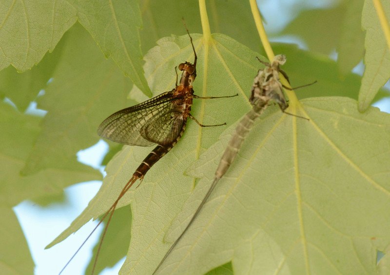Mayflies, Order Ephemeroptera, are the only insects that molt after reaching a fully winged stage -- adult (left) and exuvia of winged preadult subimago (right).