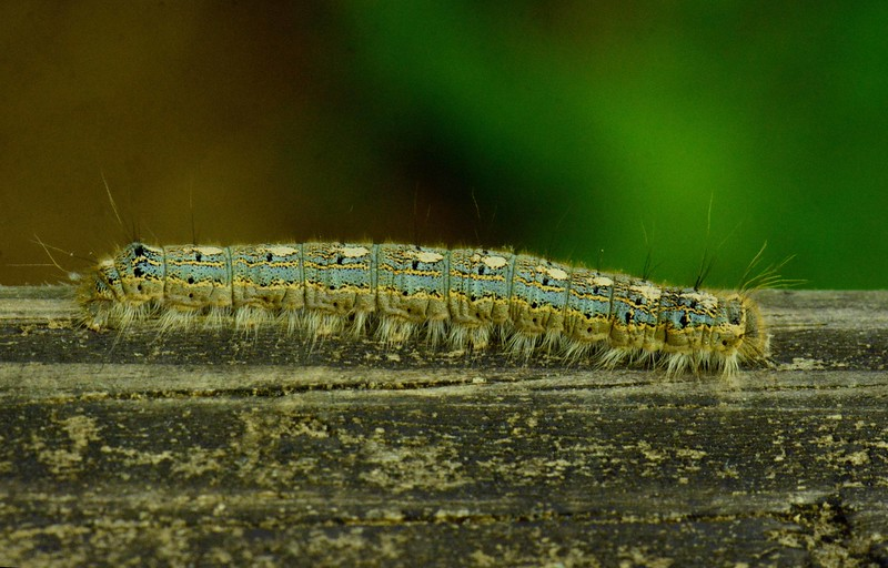 """Forest Tent Moth -- Malacosoma disstria, Hodges# 7698 MPG 224000<br /> <br /> """"You think I'm torturing you. I'm giving you flavor, so you can mix with rice and spices and be the lovely vitality of a human being."""" ~ Rumi"""
